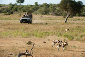 Tourists watching Wild dogs on safari (Lycaon pictus), Mashatu Game Reserve, tuli block, Botswana