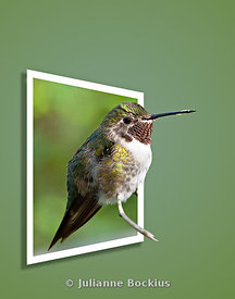 Broadtailed Hummingbird OOB