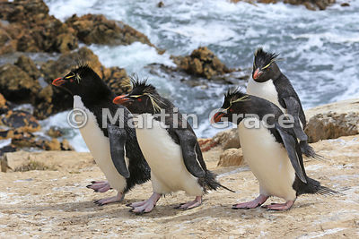 Clean Southern Rockhopper Penguins (Eudyptes chrysocome chrysocome) heading back to the colony from the sea, Cape Coventry, P...