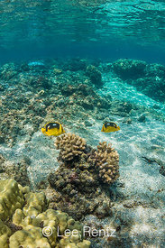 Fourspot Butterflyfish in Coral Reef off Big Island of Hawaii
