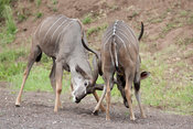 Greater kudu fighting (Tragelaphus strepsiceros, Mashatu Game Reserve, tuli block, Botswana