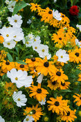 Rudbeckia 'Marmalade' mingle with white Cosmos 'Purity'. The Shute, nr Ventnor, Isle of Wight, UK