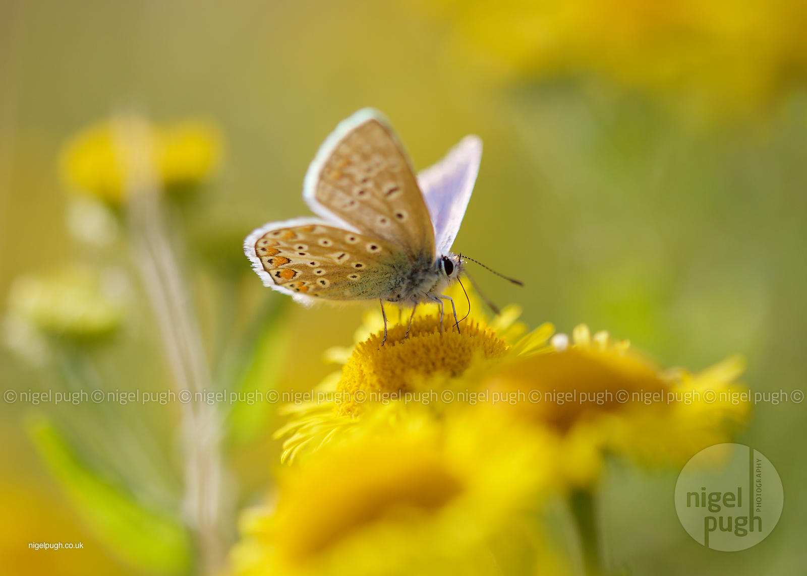 Common Blue: