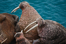 Pacific Walrus male threat postures
