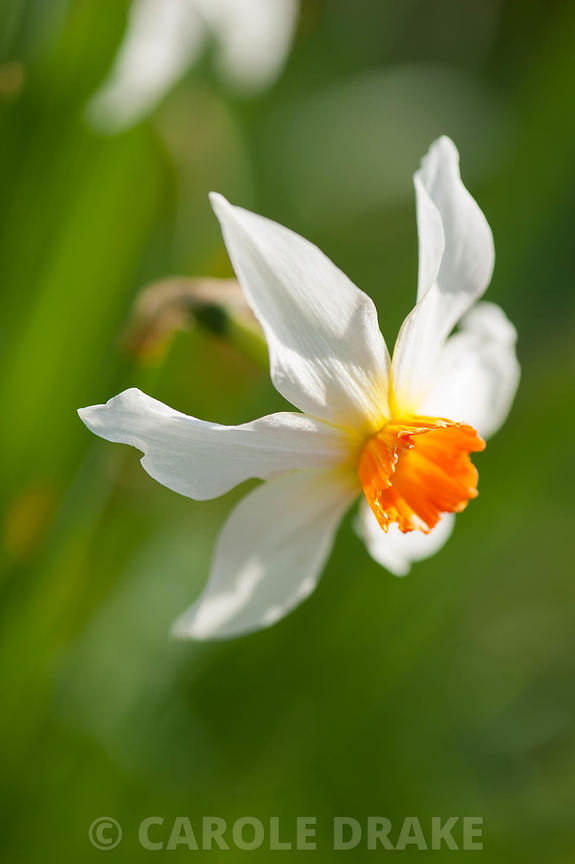 Narcissus 'Firebrand', dates from 1897. Cotehele, Cornwall, UK