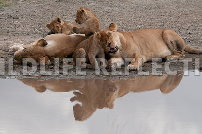 lion_family_reflection_3