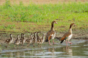 Egyptian goose with ducklings, Alopochen aegyptiaca, Selous Game Reserve, Tanzania
