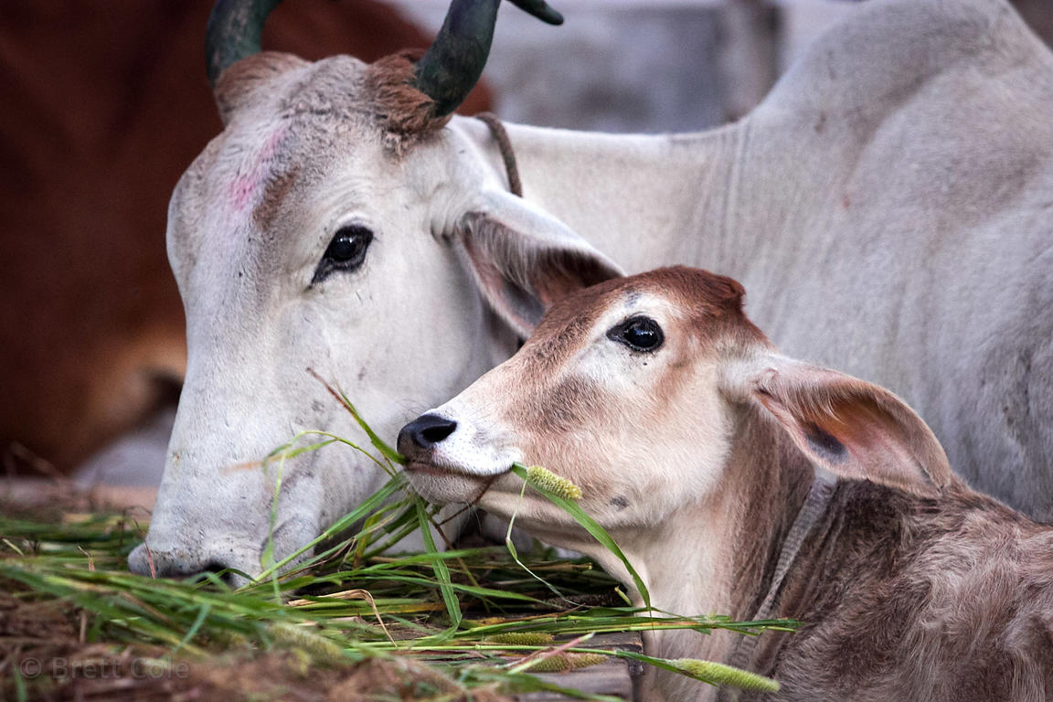 A typically beautiful calf eats grass with its mother at a market in Pushkar, Rajasthan, India