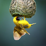 Masked weaver male hanging underneath a nest
