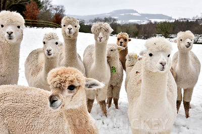 Alpacas, Wicklow