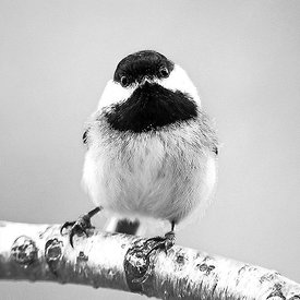 STARTLED CHICKADEE