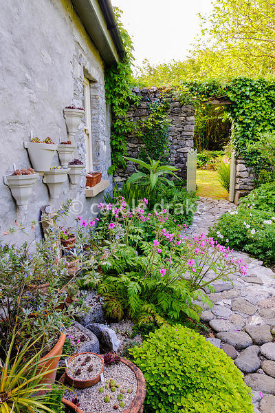 Planting against the back of the house includes Geranium palmatum, golden marjoram, Teucrium fruticans and numerous semperviv...