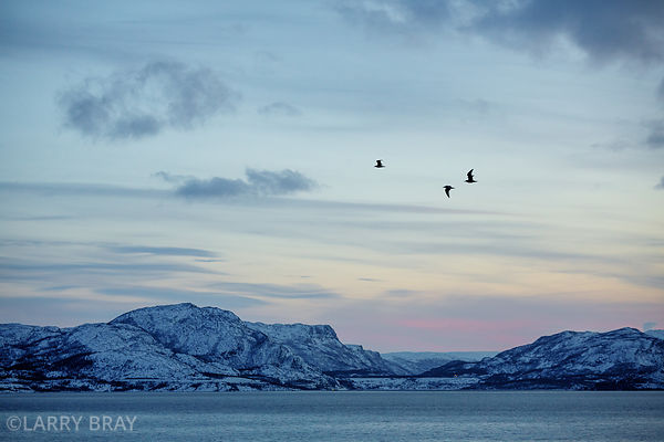 Three sea birds flying above fjords near Alta in Norway