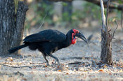 Southern ground hornbill (Bucorvus leadbeateri), Liwonde National Park, Malawi