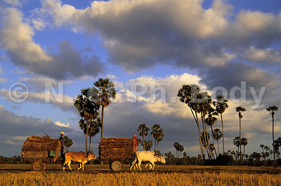 Kompong Chhnang - Agriculture pictures