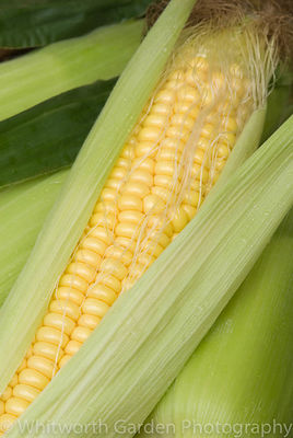 Zea mays (Sweetcorn, Corn on The Cob, Maize). © Jo Whitworth