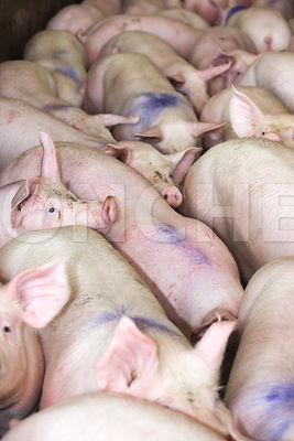 Photo de cochons a l'abattoir