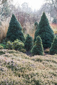 Picea glauca 'Haal' = Alberta Blue with smaller Picea glauca 'Arneson's Blue Variegated' surrounded by heathers. Sir Harold H...