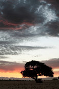 Africa sunset and tree