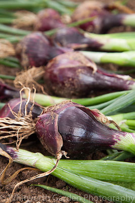 A row of freshly harvested red onions laid out to dry. © Jo Whitworth