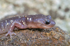 The arboreal salamander, Aneides lugubris found in an arid , quite dry area