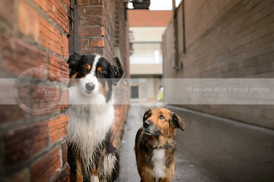 tan dog looking at tricolor dog in doorway of wet urban alley