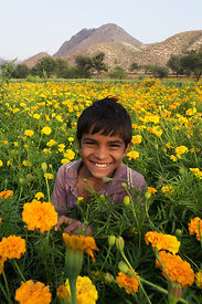 Boy working in a field of marigolds on a flower farm in Amba village, Rajasthan, India