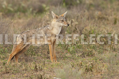 black_backed_jackal_stretch_stance_2