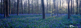 Wild wood bluebells blooming in Haller forest.