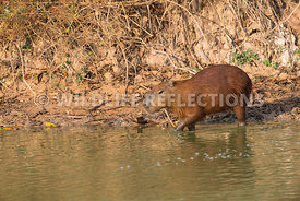 capybara_entering_water-3