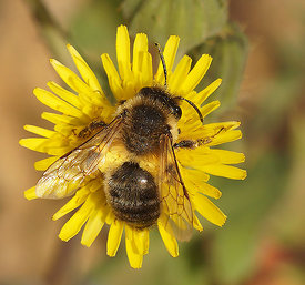 Colletes species at Lake Venuela, Andalusia, Spain