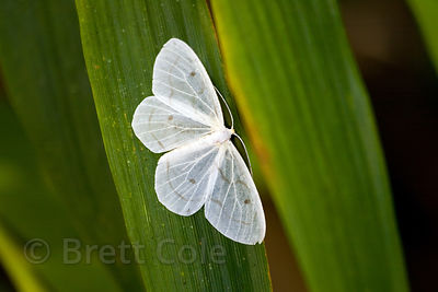 Unidentified small white butterfly (sp.), Las Nubes, Costa Rica