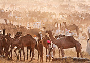 Men from all over Rajasthan gather to be a part of the Pushkar Fair. Here, these camel herders get ready before the commencem...
