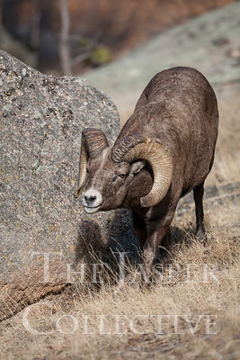 Big_Horn_Sheep_MG_6794