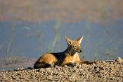 Black-backed jackal on a small sandbank in Etosha pan(Canis mesomelas), Etosha National Park, Namibia