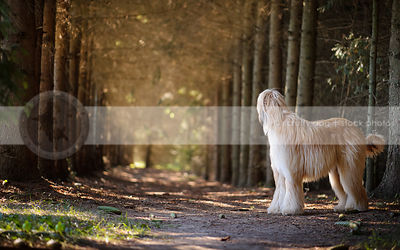 longhaired dog looking away standing in forest of pine trees