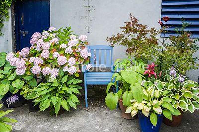 Blue painted seat surrounded by pots of hostas, hydrangea and an acer. The Bay Garden, Camolin, Co Wexford, Ireland