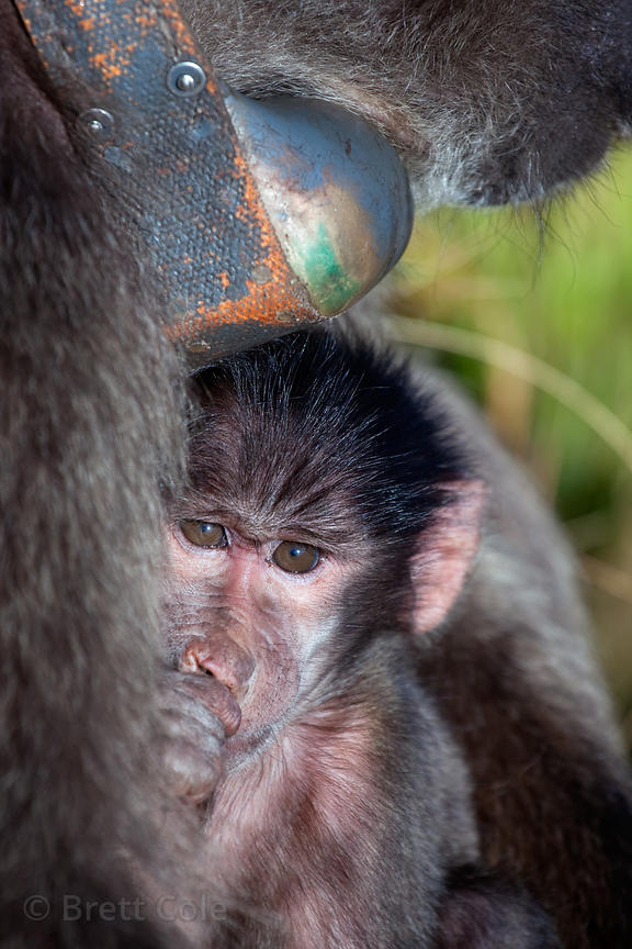 Baby chamca baboon from the Slangkop troop nursing, showing its mother's bulky, outdated GPS collar, Cape Peninsula, South Af...