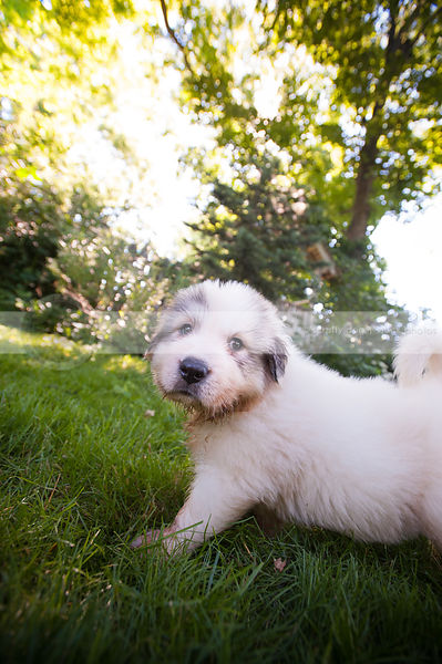 serious small white puppy dog standing in mowed grass