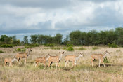 Greater kudu walking, Tragelaphus strepsiceros, Kruger National Park, South Africa
