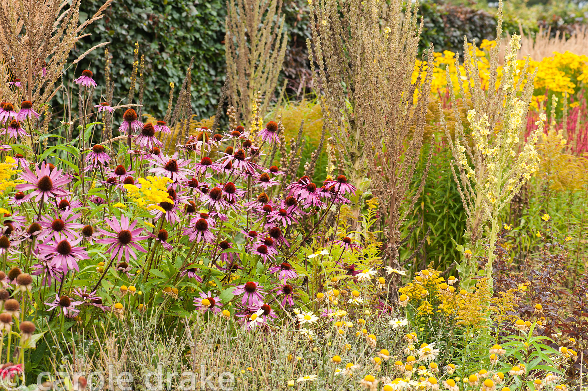 A section of one of the double herbaceous borders planted with predominantly hot colours including Echinacea purpurea Bressin...