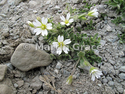 Arctic Mouse-Ear (Arctic Mouse-Ear Chickweed) (Cerastium arcticum), Longyearbyen, Svalbard