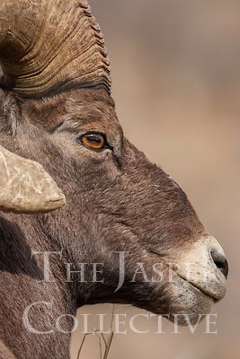 Big_Horn_Sheep_Q8J2884