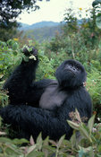 Silverback, Mountain Gorilla, Gorilla gorilla berengei, Virunga Mountains, Volcanoes National Park, Rwanda
