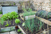 Small veg growing area in the end section of the 250' long garden. 24 Bude Street, Appledore, Devon, UK