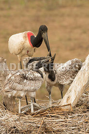 jabiru_stork_nest_close-17