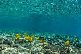 School of Yellow Tang at Kahalu'u Beach Park on Big Island of Hawaii