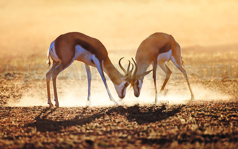 Springbok dual in dust with golden morning light