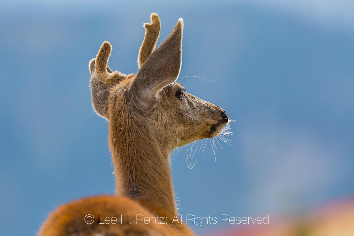 Blacktail Deer Buck in Olympic National Park
