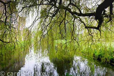 A veil of weeping willow branches hangs over the moat at the Bishop's Palace Garden, Wells, Somerset in April